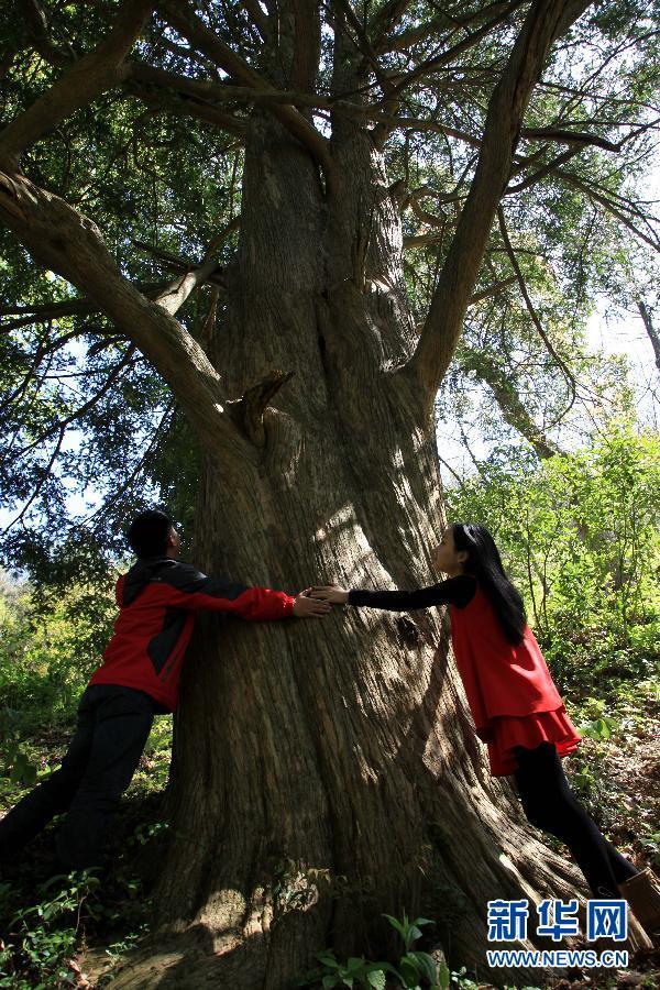 浙江桐庐的百年珍稀野生香榧树