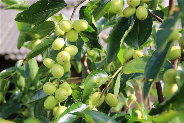 贵州黄平中秋酥脆枣即将开园采摘 各地订单纷飞而至