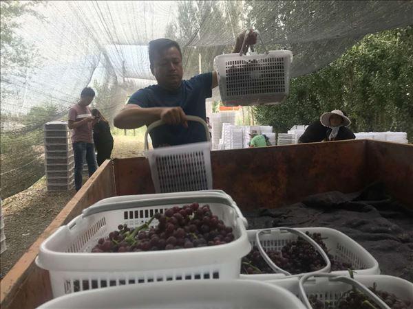 新疆呼图壁县农民喜迎丰收季硕果组图大比拼