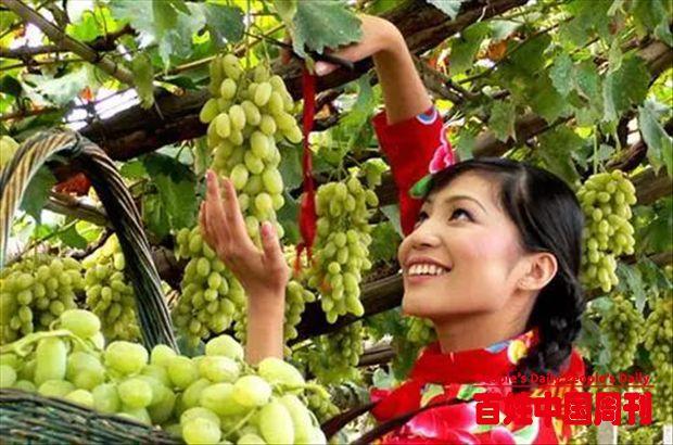 河北张家口宣化千年葡萄结出万年幸福