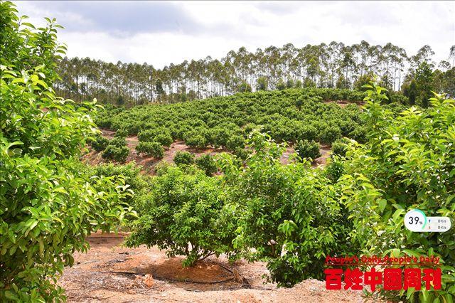 广东省揭西张锡贵:振兴路上柑橘香